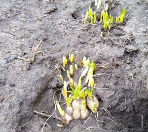 На Чернігівщині через аномально теплий грудень масово розпускаються рослини