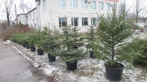 Чернігівці мають можливість придбати на Різдвяно-новорічні свята зелену красуню