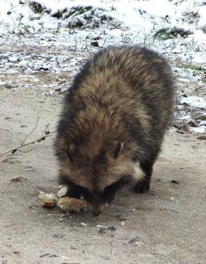 На Чернігівщині виявлено єнота уссурійського
